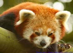 Cool Red Panda Images
