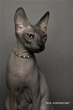 DONSKOY aka DON-SPHYNX: rare russian hairless cat, unrelated to the better known Sphynx breed. The Don hairlessness is caused by a dominant gene, whereas the Sphynx hairlessness is caused by a recessive gene. Pretty Cats, Beautiful Cats, Cool Cats, I Love Cats, Cute Hairless Cat, Baby Animals, Cute Animals, Baby Giraffes, Sphinx Cat