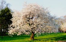 Autumn Cherry Tree:  Small tree with white blooms in Spring and Fall (occasionally in mild winters). Drought tolerant. Taller than most flowering trees. Up to 20ft tall.