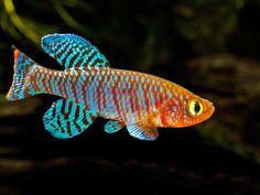 arabian killifish aphanius dispar dispar 1 quick tropical aquarium ...