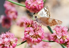 Red Buckwheat (Eriogonum grande rubescens), Host plant for many butterflies! Lots of butterflies enjoy the nectar too!