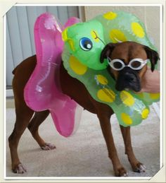 My boxer Sidney who dose not know how to swim.  I think she is ready now.