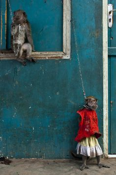 monkeys are trained to take part in street performances on June 1, 2011 in Jakarta, . The monkey in red is chained by neck to strengthen legs.
