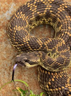 Southern Pacific Rattlesnake (Crotalus oreganus helleri)
