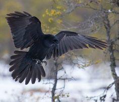 Raven Photography, Flying Photography, Animal Photography, Beautiful Birds, Animals Beautiful, Cute Animals, Crow Art, Bird Art, Raven Flying