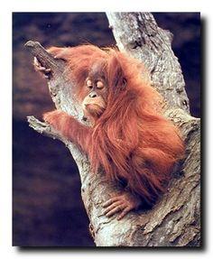 Orangutan and Baby Waving Monkey Wall Decor Art Print Poster 16x20