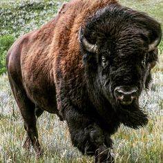 Always pray to have. Eyes that see the best in people, a Heart that forgives the worst , a Mind that forgets the worst, and a Soul that… Bison Pictures, Buffalo Pictures, Animal Pictures, Buffalo Painting, Buffalo Art, Buffalo Tattoo, Moose Deer, Eagle Art, American Bison