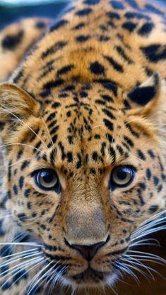 Beautiful leopard being playful.