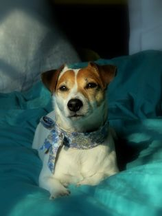 Ma petite Jack Russell, Hermine, en vacances au Touquet !