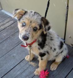 Molly, an adoptable Australian Shepherd mix in Baton Rouge, LA.  SOOOO CUTE ITS A PUPPY C=