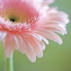Love the gerbera and the photo. Pink Gerbera, Pink Daisy, Pale Pink, Pink Color, My Flower, Pink Flowers, Beautiful Flowers, Colorful Roses, Flower Shops