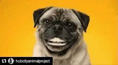 Repost @hubcityanimalproject  This smiling pug is waiting on you to vote for your favorite video @hubcityanimalproject #furmageddon2017 please vote to help us fund organizations that are working to end animal homelessness in Spartanburg County. The animals thank you! ... #dogsofinstgram #petphotographer #dogsofgreenville #greenvillesc #yeahthatgreenville #greenville360 #greenvillepets #petsofgreenville #carolinacanines #dogsoftheupstate #downtowngreenville #travelersrestsc #swamprabbittrail…