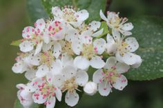 Mustamarja-aronia Nature Photography, Rose, Flowers, Plants, Pink, Nature Pictures, Plant, Roses, Wildlife Photography