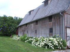 #Hydrangea on the #JPParkerFlowers farm. www.jpparkerco.com/