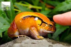 Tomato Frog //// eeeeeeee!!!!!!!!!!