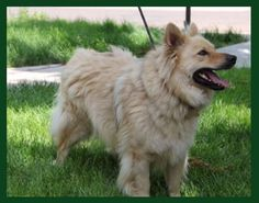 Meet Rocko Foster Needed, a Petfinder adoptable Samoyed Dog | Minneapolis, MN | You can fill out an adoption application online on our official website. â?? Adoption Fee:...