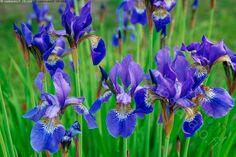 Kurjenmiekat - kurjenmiekka iiris kukka sininen saksankurjenmiekka Iris germanica istutus kukkapenkki puutarha puutarhanhoito puutarhakasvi