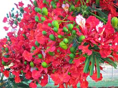Tuesday in Townsville - Poinciana Flowers and a Happy New Year