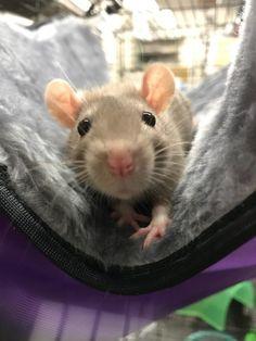 Awww... what an adorable pet rat