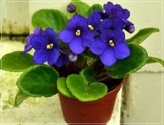 Violeta africana, la reina de las plantas de interior
