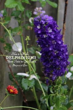 If you love delphiniums and wish the beautiful, tall, blue flowers would last throughout the summer. They do not, of course, but with this simple tip, you can actually get these gorgeous, flowering giants to bloom a second time within the same growing season.