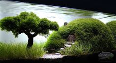 The simple gathering of plants, beautiful stones and driftwood is no longer the goal of many aquarists. Aquascaping has become a valued art.