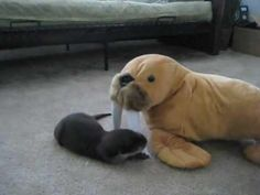 Baby Otter Plays With Stuffed Stuffed Walrus
