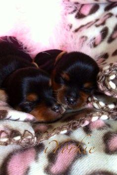 Newborn Yorkies