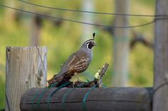 Hendry Vineyard Life 6: Nearly every year, a family - or several - of California Quail provide endless entertainment. #hendryvineyardlife