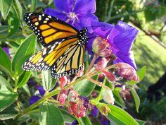 Monarchs #5 And we begin again.