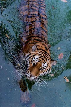 animals eyes water nature wildlife tiger tigers tiger in water Tier Wallpaper, Animal Wallpaper, Animals And Pets, Baby Animals, Cute Animals, Wild Animals, Beautiful Creatures, Animals Beautiful, Beautiful Cats Pics