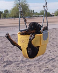 The Doberman Pinscher is among the most popular breed of dogs in the world. Known for its intelligence and loyalty, the Pinscher is both a police- favorite Dachshund Breed, Dachshund Quotes, Dachshund Love, Daschund, Doberman Pinscher, I Love Dogs, Cute Dogs, Funny Animals, Cute Animals