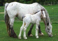Gypsy Appaloosa mare and foal