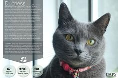 Meet Duchess, another of our 2012 Furry Tail Endings!  http://lapsbc.ca #cat #kitty #rescue #langley #fraservalley #LAPSGala