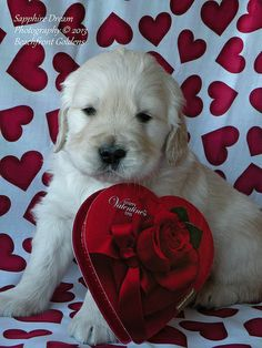 Golden Retriever: Happy Valentine's Day!
