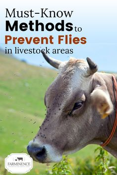 Want to know how to get rid of flies in your barn and from outside spaces? Controlling flies in the chicken coop and outside can seem like a daunting task, but with a few fly prevention tips, you can start controlling flies in the chicken coop and give your animals some relief from flies. Keeping flies off of horses, goats and cows is easier than you may think and starts with some basic daily practices. Start controlling flies today and keep your livestock healthy and happy! Tips for fly… Breeds Of Cows, Get Rid Of Flies, Fly Control, Pioneer Life, Beef Cattle, Farms Living, How To Get Rid, Livestock, Farm Animals
