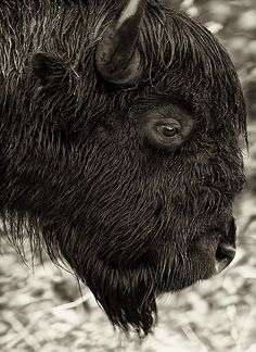 """The BISON is a member of the bovine family. Commonly called """"buffalo"""" (which is actually a different species not found in North America), it is the largest land mammal in North America. Bison are considered a keystone species: they once roamed the continent in great herds, and their grazing pressure helped shape the ecology of the Great Plains."""