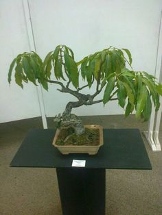 how to grow a bonsai mango tree