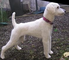 manly poodle cuts - Google Search
