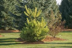 Rich's Foxwillow Pines Nursery, Inc. - Pinus densiflora – 'Burke's Red Variegated'Japanese Red Pine