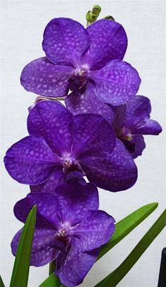 Orchidee Vanda Princess Mikasa