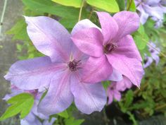 Clematis Moonfleet soft changing of colour June to September with Rose Shropshire Lad aaaaah Driveway Border, Flower Beds, September, Yard, Colour, Flowers, Plants, Room, Color