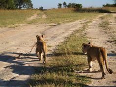 Ruvubu and Rusizi at Antelope Park - Book your accommodation at Antelope Park through Zimbabwe Bookers http://zimbabwebookers.com/reservations/gweru-accommodation-zimbabwe/antelope-park-lodge-gweru.html