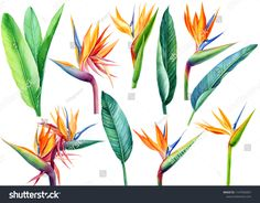 tropical plant flowers and green leaves strelitzia on white background, watercolor illustration, botanical painting, jungle design Royalty free image illustration Plant Illustration, Watercolor Illustration, Green Leaves, Plant Leaves, Birds Of Paradise Flower, Water Flowers, Tropical Plants, Royalty Free Images, Planting Flowers