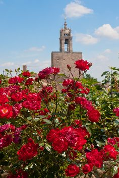 Roses in Vaucluse, Provence - France