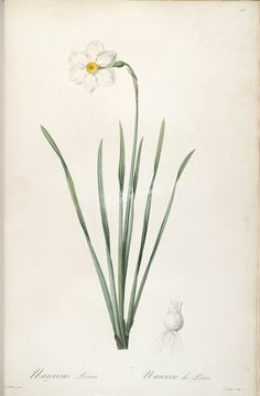 lilies_flowers-00162 narcissus poeticus  botanical floral botany natural naturalist nature flowers flower beautiful nice flora plants blooming ArtsCult.com Artscult ArtsCult vintage printable public domain 300 dpi commercial use 1800s 1700s 1900s Victorian Edwardian art clipart royalty free digital download picture collection pack paintings scan high qulity illustration old books pages supplies collage wall decoration ornaments Graphic
