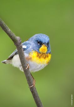northern birds   Northern Parula