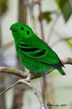 Eurilaimo de Whitehead (Calyptomena whiteheadi). Es un ave de la familia Eurylaimidae de entre 24 y 27 cm; el mas grande de su género. Habita solo en los bosques montanos del norte de Borneo.