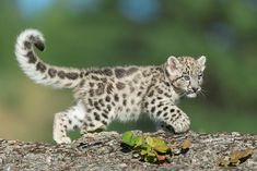 Puppies Discover Adorable pictures of big cats as babies TITLE: Snow leopard kitten - gnagel/Getty Images Baby Snow Leopard, Leopard Kitten, Snow Leopard Tail, Leopard Rug, Leopard Coat, Big Cats, Cats And Kittens, Cute Cats, Nature Animals