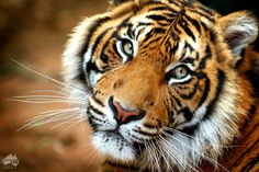 Happy International Tiger Day! #tiger #conservation #environment